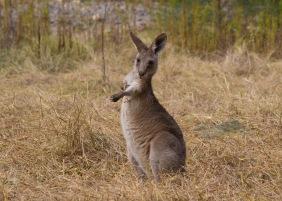 Kangaroo - Carnarvon Gorge