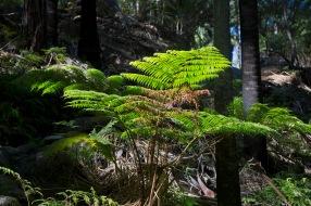 Ferns - Carnarvon Gorge
